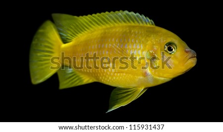Exotic fish in aquarium close-up, isolated over black  ,