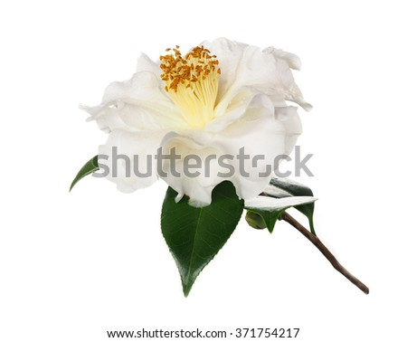 Extreme Depth of Field Photo of a Camellia Blossom with Dew Isolated on White