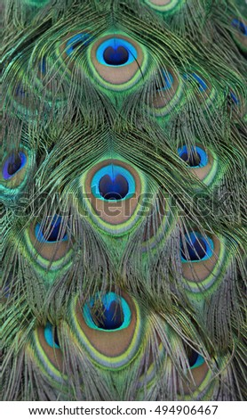 Eyespots on a peacock's train feathers.