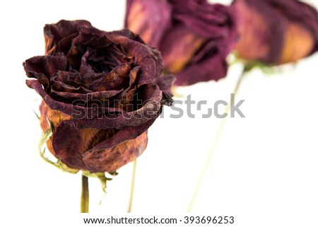faded rose isolated on white background / dried rose flower with dried leafs isolated / Dried red rose on white background / seamless pattern close-up texture roses