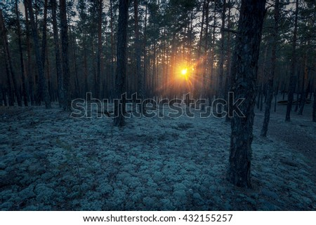 Fairytale landscape of pine forest. Sun burst through the trees at sunset time in the dark forest. Floor covered with blue moss.