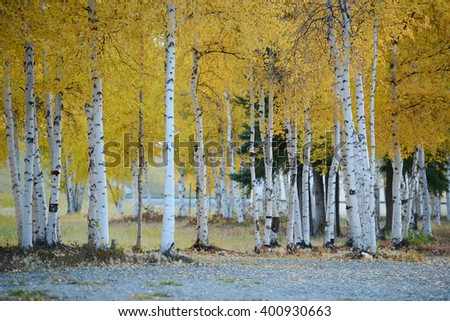 fall color of aspen tree in alaska