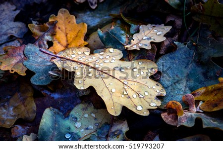 fallen oaks leafs with water drops