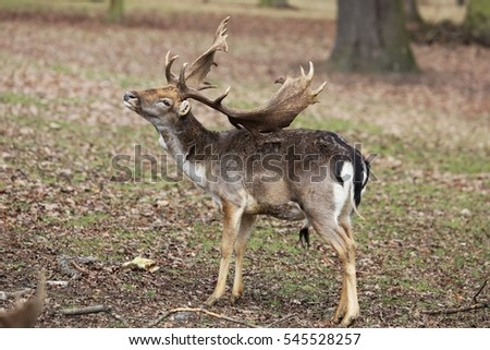 Fallow deer (Dama dama) - by using antler scratches his the back.