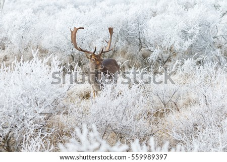 Fallow deer in a winter setting with hoarfrost