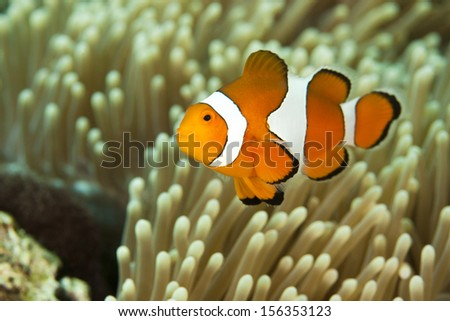 False Clown Anemonefish (Amphiprion ocellaris), on a tropical coral reef in Bali, Indonesia.