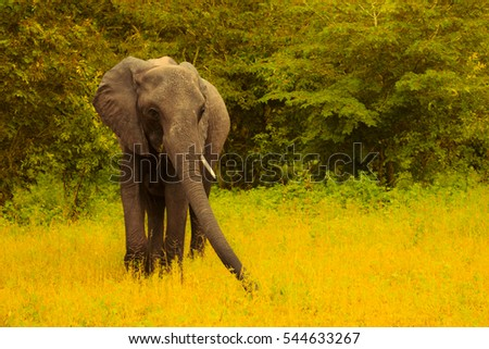Family of elephants walks and grazes in the South African bushes. Botstwana. South Africa