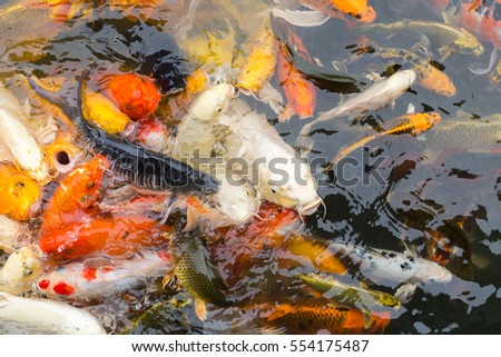 fancy carp fish, koi fish.