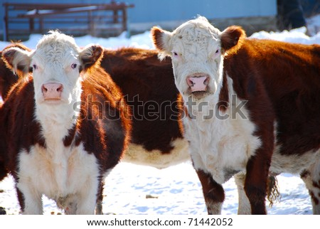 Farm Cows in winter