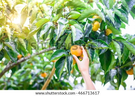 Farmer hand holding ripe persimmons on the tree in sunshine day