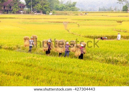 Farmer harvest rice in the field in Mu Cang Chai, Yen Bai, Vietnam on May 18, 2016