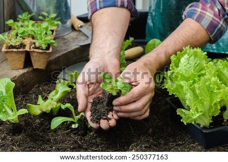 senior gardener basket harvested vegetables garden stock