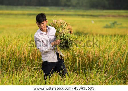 Farmers in suburban districts of Hanoi harvested paddy spring - summer afternoon June 5, 2016. This is one of the important crop of the Red River Delta, Vietnam.