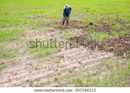 farmers rice planting working