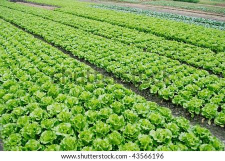 Farmland, vegetable field is growing on a variety of vegetables,