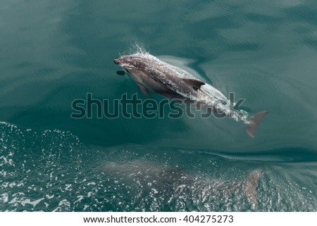 Fast Dolphin in the Wildlife Sea