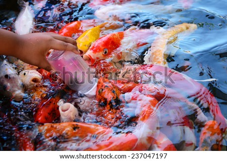 Fancy carp fish eating food pondbackground stock photo for Baby koi food