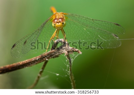 Female Autumn Meadowhawk Dragonfly perched on a dead branch.
