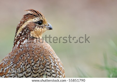 Female Bobwhite Quail with Room for your Text