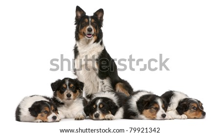 Female Border Collie, 3 years old, and Border Collie puppies, 6 weeks old, in front of white background