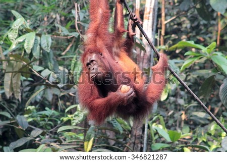 Female Borneo Orangutan with its cub, hanging and eating at the Semenggoh Nature Reserve in Kuching, Malaysia.