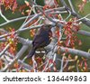Female Brewer's Blackbird among tree branches with small twigs in beak - stock photo