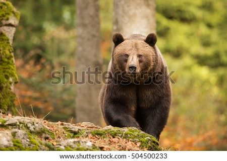 female  brown bear comes from forest