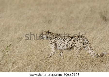 Female Cheetah in hunting mode surveys the grasslands