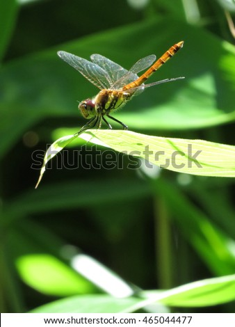 Female dragonfly, autumn darter(Sympetrum frequens) on the leaf in the spotlight of the summer sun.