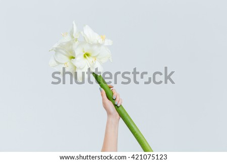 Female hand holding lily isolated on a white background