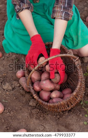 Female hands in red gloves harvesting fresh potatoes from soil in basket