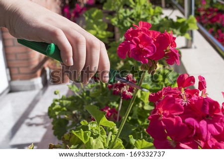 female hands trimming a flower at home