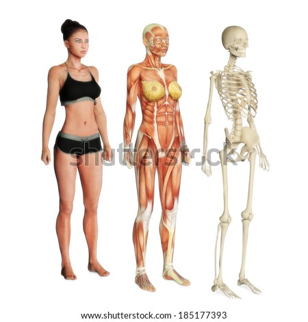 male female muscular skeletal system isolated stock illustration, Skeleton