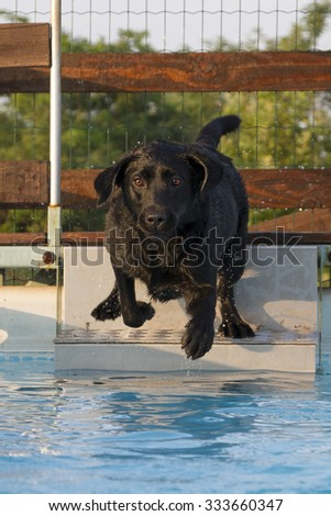 female Labrador training in dealing with the first dip in the pool