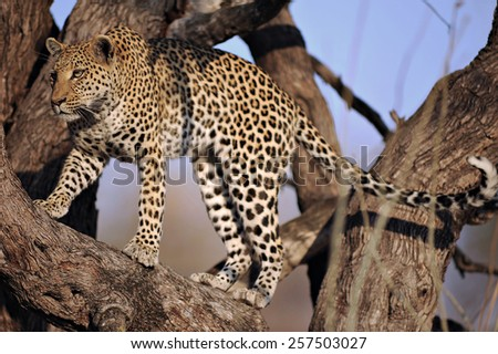 Female leopard in tree. Moremi National Park, Khwai area.