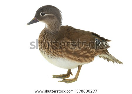 Female mandarin duck isolated on white background.