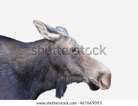 Female moose on a textured background