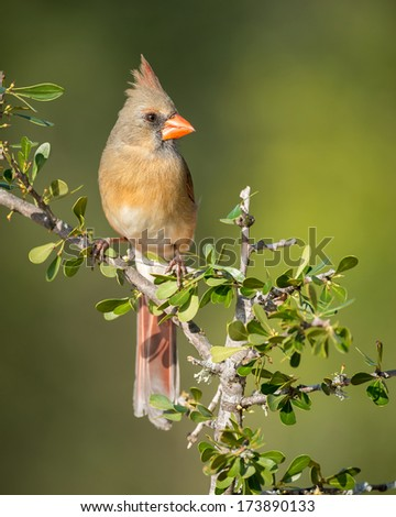 Female Northern cardinal on perch