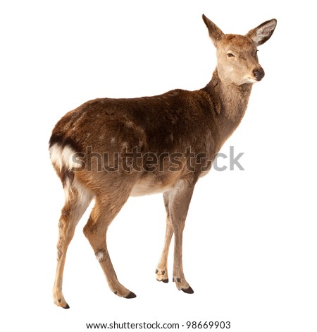 Female of Deer. Isolated over white  background