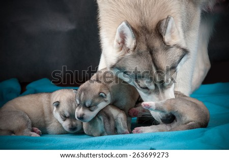 Female of siberian husky taking care of her one week baby puppies