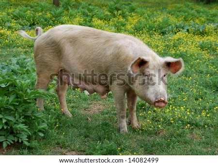 Female pig on a green meadow with flowers