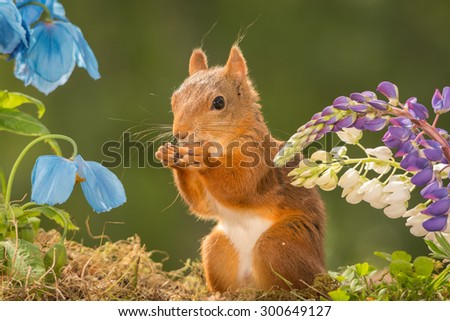 female red squirrel standing with lupine