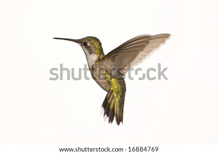 Female Ruby Red Throated Hummingbird against a White Background