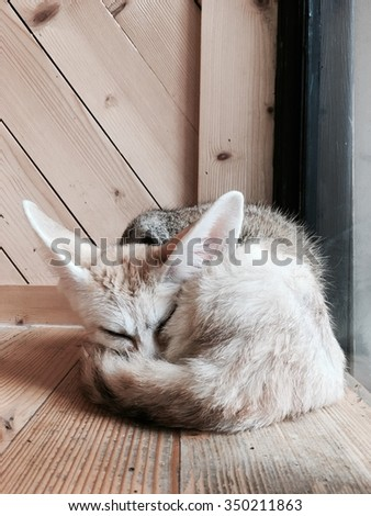 Fennec fox laying sleeping