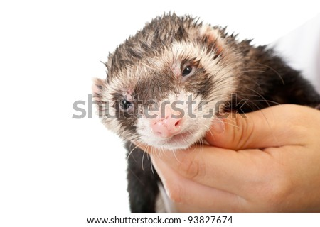 Ferret close-up portrait isolated over white