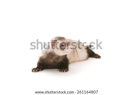 Ferret pet on a white background, isolated.