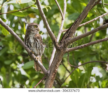 Ferruginous Pygmy-Owl in the Yucatan, Mexico