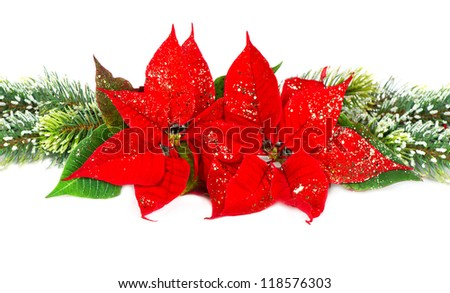 Festive decoration with christmas flower red poinsettia and evergreen tree bunch