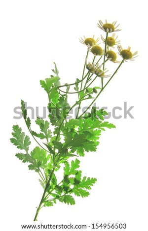 Feverfew (Tanacetum parthenium) - flowering plant in front of white background