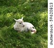 Few days old lamb lying on grass - stock photo